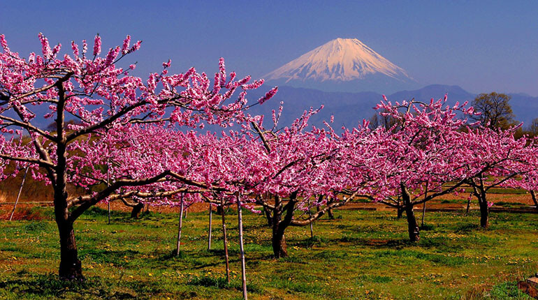 Фудзияма на фоне сакуры